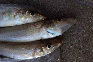【キス釣り】今年もこの魚が釣れるシーズンが来た!釣って良し、食べて良しのアノ魚!